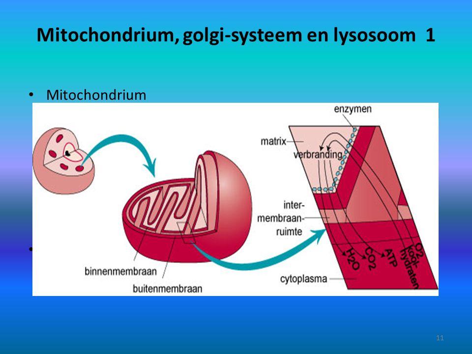 Mitochondrium, golgi-systeem en lysosoom 1 Mitochondrium Verspreid in het cytoplasma liggen mitochondriën (enkelvoud = mitochondrium). Ze zijn omgeven
