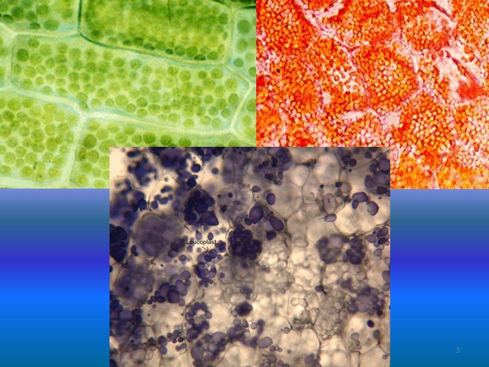 Mitochondrium, golgi-systeem en lysosoom 3 Het golgi-systeem kun je zien als een fabriekje waar allerlei producten worden aangevoerd om vervolgens na bewerking weer afgevoerd te worden.