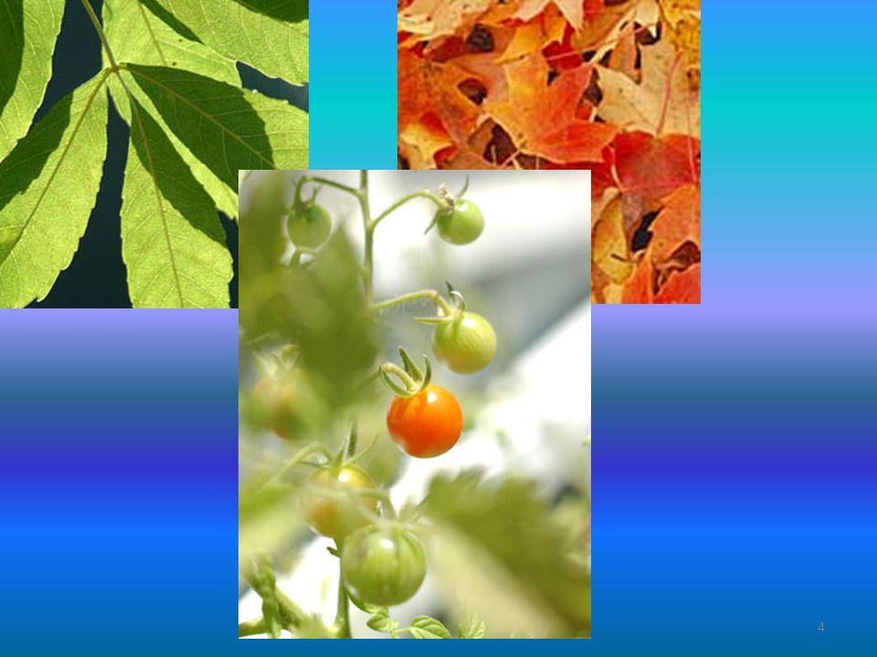 Plantencellen en hun organellen 6 Anthocyaan = kleurstof in de vacuole Vacuole heeft ook veel zouten/suikers 5