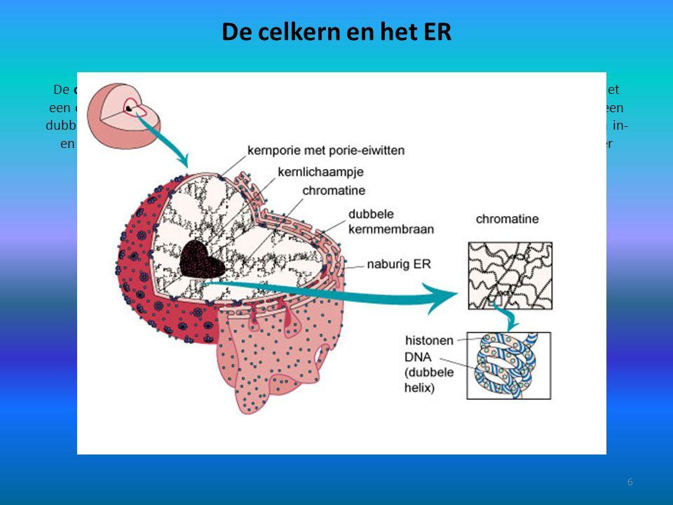 De celkern en het ER Het endoplasmatisch reticulum (= ER, letterlijk: netwerk in het plasma ) is een stelsel van 'buizen' dat verspreid door de hele cel ligt.