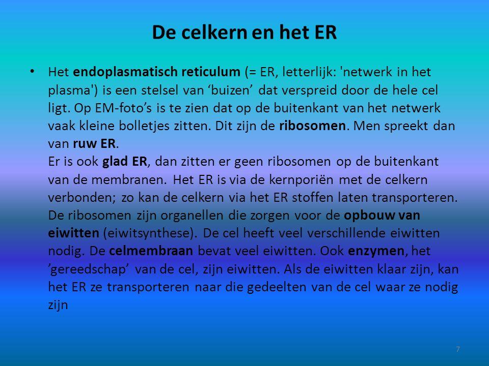 De celkern en het ER Het endoplasmatisch reticulum (= ER, letterlijk: 'netwerk in het plasma') is een stelsel van 'buizen' dat verspreid door de hele