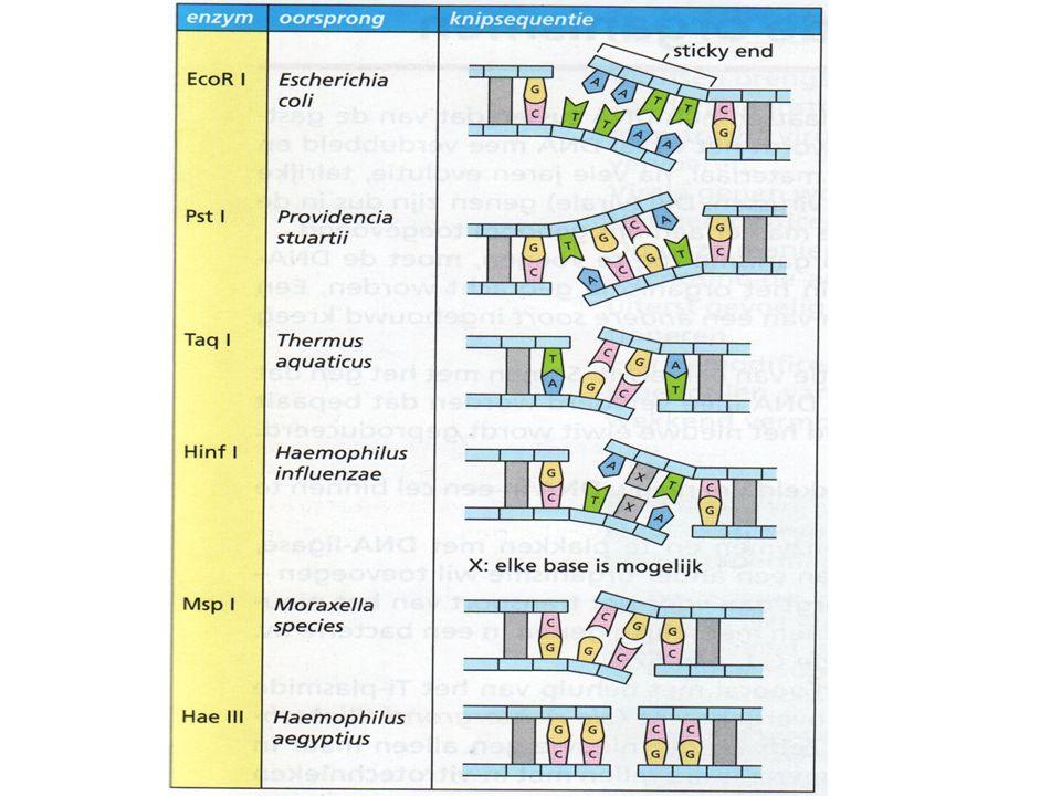 3.1.2 DNA-ligasen Geknipte DNA fragmenten (met sticky-ends) moeten ingeplakt worden in een transportmiddel (bv.