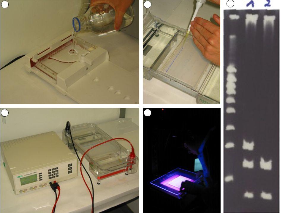 5.3 DNA-sequencing Bepalen van de basensequentie in een DNA-fragment (na PCR en gelelektroforese) 5.3.1 Klassieke ketenterminatiemethode Vergelijkbaar met PCR, maar er worden gekende stopnucleotiden toegevoegd (ddA-ddC-ddG-ddT) (zonder OH-groep aan 3') Waar het kopiëren van de enkelstreng stopt zit een gekende stopnucleotide  de nucleotide op de oorspronkelijke streng is dan ook gekend (bv.