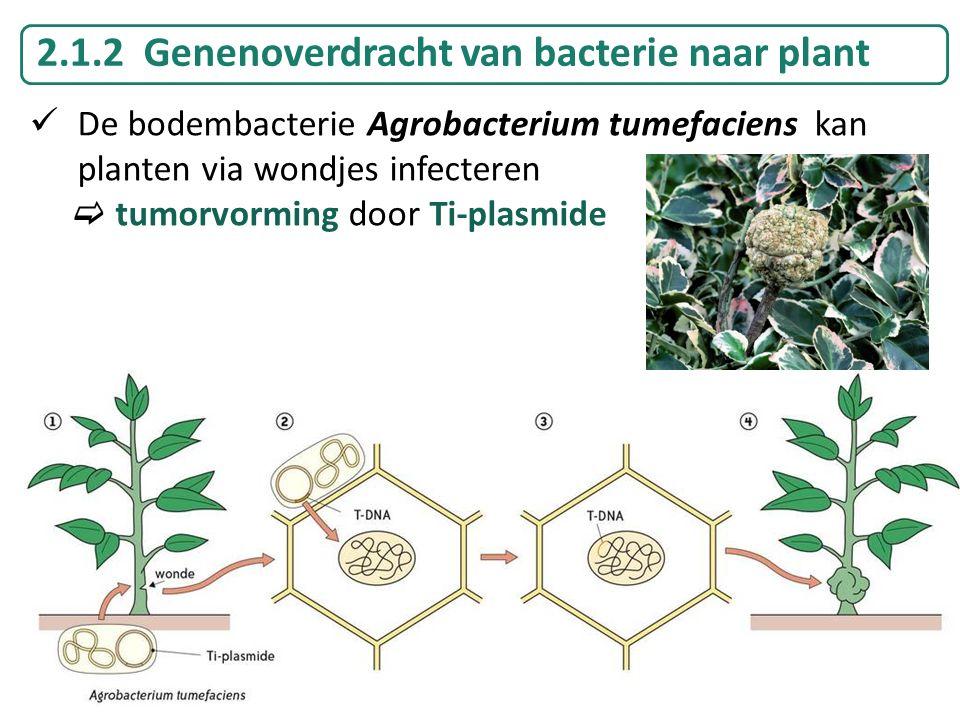 2.1.2 Genenoverdracht van bacterie naar plant De bodembacterie Agrobacterium tumefaciens kan planten via wondjes infecteren  tumorvorming door Ti-pla
