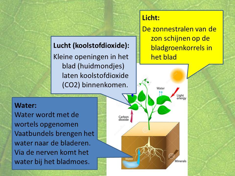 Water: Water wordt met de wortels opgenomen Vaatbundels brengen het water naar de bladeren. Via de nerven komt het water bij het bladmoes. Lucht (kool