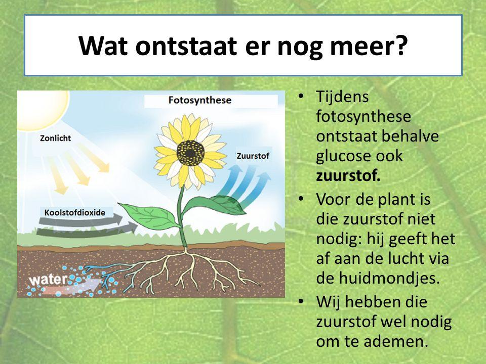 Wat ontstaat er nog meer? Tijdens fotosynthese ontstaat behalve glucose ook zuurstof. Voor de plant is die zuurstof niet nodig: hij geeft het af aan d