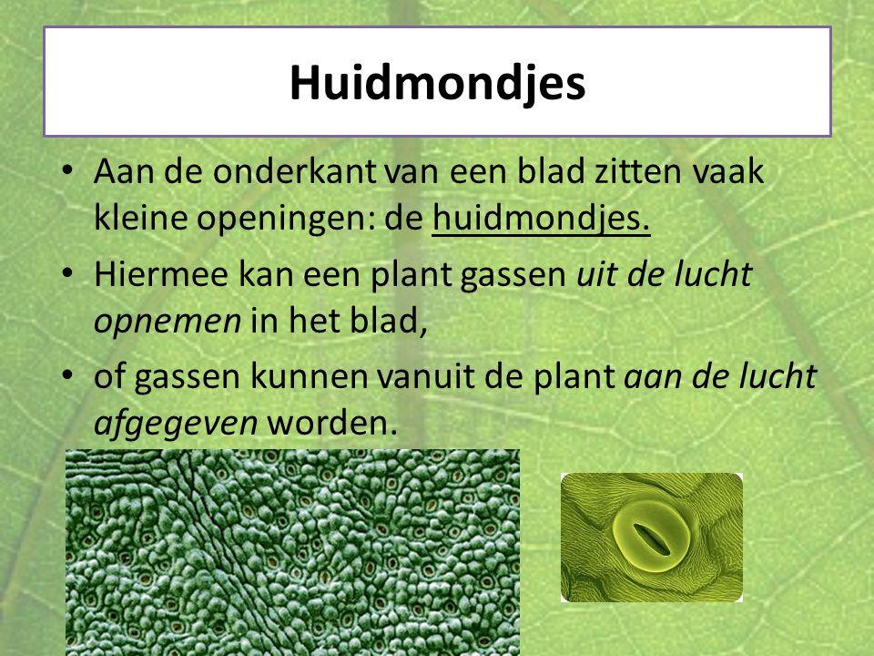 Huidmondjes Aan de onderkant van een blad zitten vaak kleine openingen: de huidmondjes. Hiermee kan een plant gassen uit de lucht opnemen in het blad,