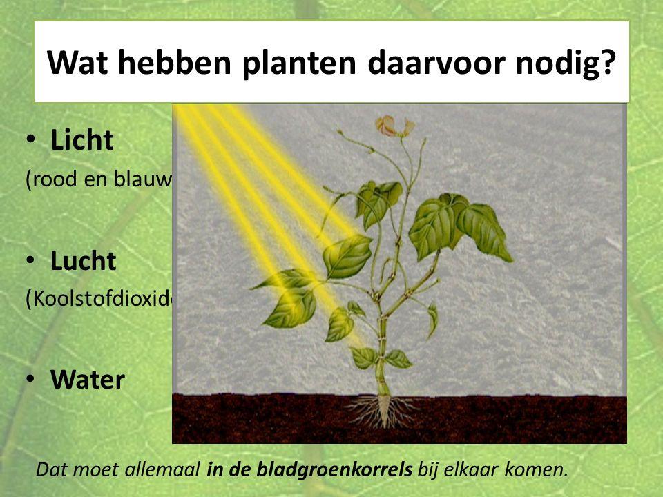 Wat hebben planten daarvoor nodig? Licht (rood en blauw) Lucht (Koolstofdioxide) Water Dat moet allemaal in de bladgroenkorrels bij elkaar komen.