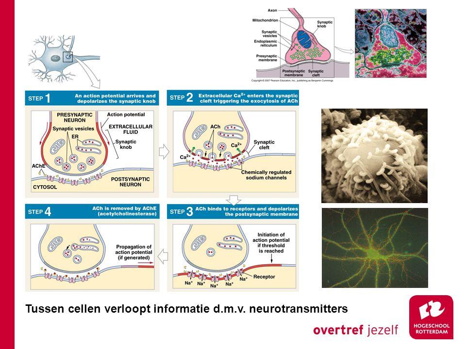 Tussen cellen verloopt informatie d.m.v. neurotransmitters