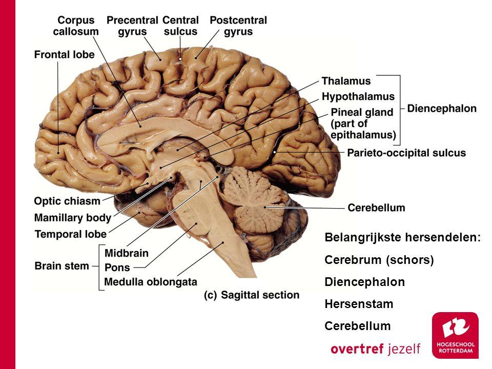Belangrijkste hersendelen: Cerebrum (schors) Diencephalon Hersenstam Cerebellum