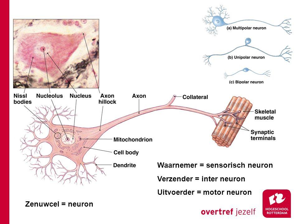 Zenuwcel = neuron Waarnemer = sensorisch neuron Verzender = inter neuron Uitvoerder = motor neuron