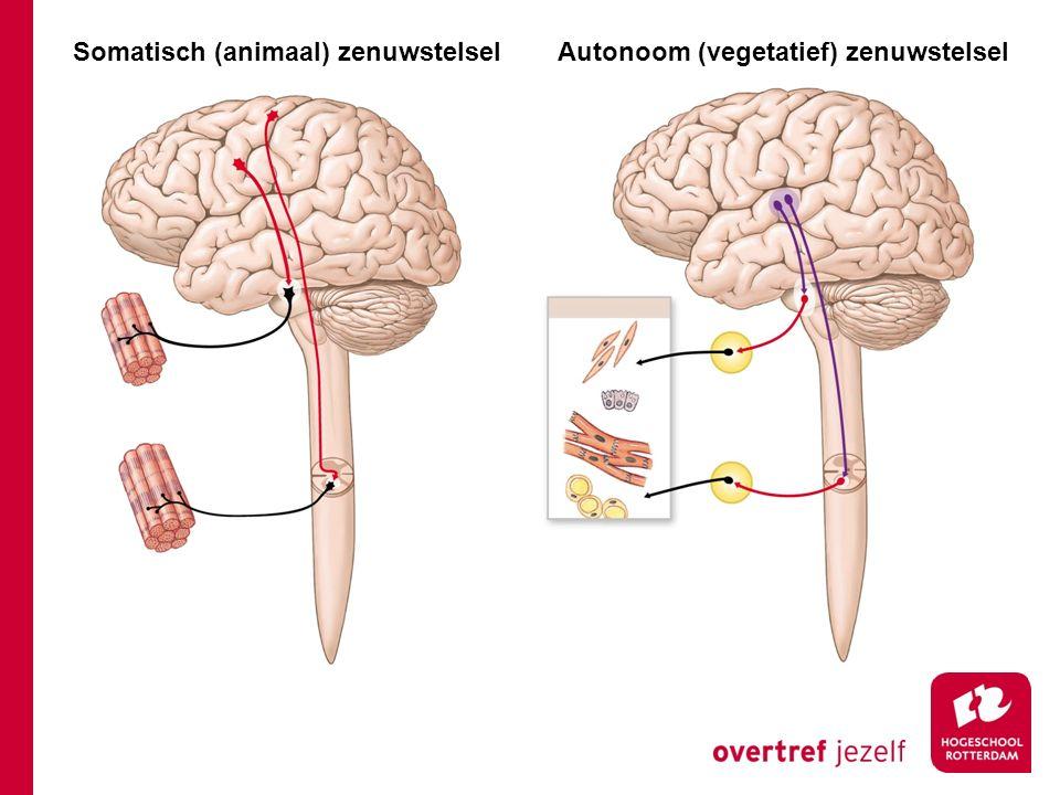 Somatisch (animaal) zenuwstelselAutonoom (vegetatief) zenuwstelsel