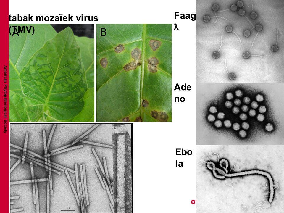 American Phytopathological Society tabak mozaïek virus (TMV) Ebo la Ade no Faag λ