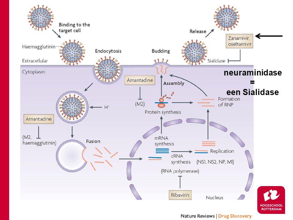 infectie Influenza virus neuraminidase = een Sialidase