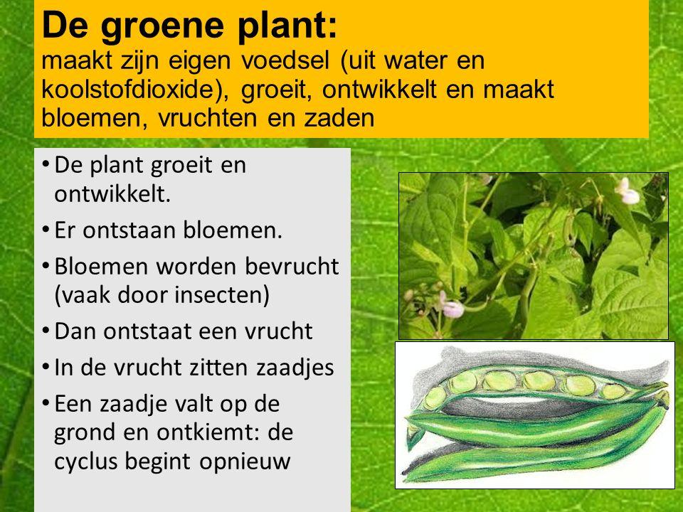 De levenscyclus van een plant: Filmpjes: tomatenplant en kiemen boon