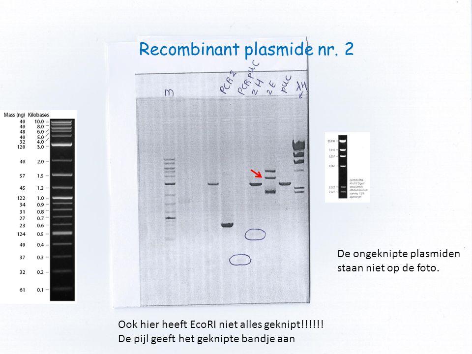 Recombinant plasmide nr. 2 Ook hier heeft EcoRI niet alles geknipt!!!!!! De pijl geeft het geknipte bandje aan De ongeknipte plasmiden staan niet op d