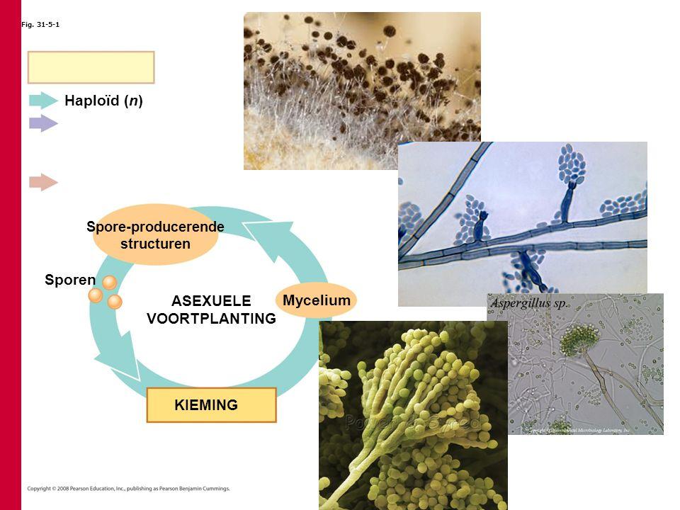 Fig. 31-5-1 Sporen Spore-producerende structuren KIEMING ASEXUELE VOORTPLANTING Mycelium Haploïd (n)
