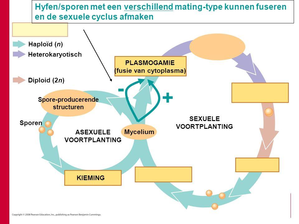 Heterokaryotisch Diploid (2n) PLASMOGAMIE (fusie van cytoplasma) Sporen Spore-producerende structuren KIEMING ASEXUELE VOORTPLANTING Mycelium Haploïd (n) SEXUELE VOORTPLANTING - + Hyfen/sporen met een verschillend mating-type kunnen fuseren en de sexuele cyclus afmaken