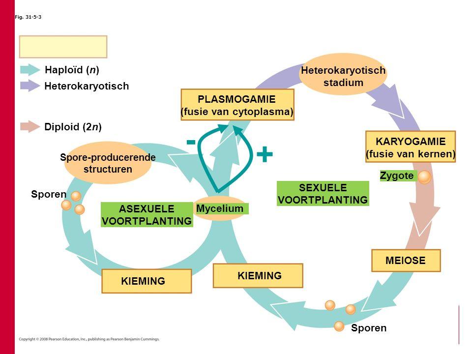 Fig. 31-5-3 Heterokaryotisch Diploid (2n) KARYOGAMIE (fusie van kernen) PLASMOGAMIE (fusie van cytoplasma) Heterokaryotisch stadium Zygote Sporen KIEM