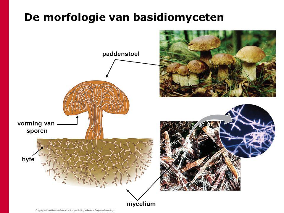 De morfologie van basidiomyceten mycelium hyfe paddenstoel vorming van sporen