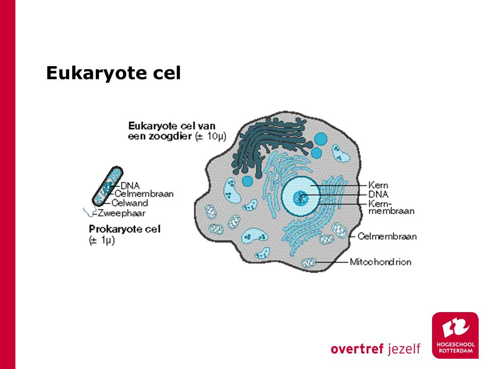 Eukaryote cel