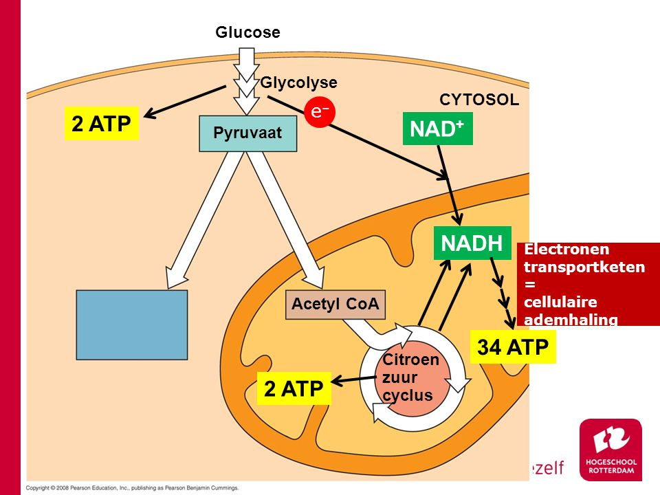 Glucose Glycolyse Pyruvaat CYTOSOL Acetyl CoA Citroen zuur cyclus 2 ATP NADH NAD + e–e– 34 ATP Electronen transportketen = cellulaire ademhaling