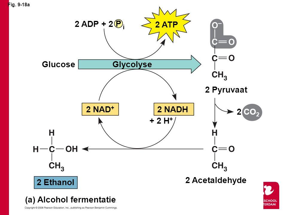 Fig. 9-18a 2 ADP + 2 P i 2 ATP GlucoseGlycolyse 2 Pyruvaat 2 NADH2 NAD + + 2 H + CO 2 2 Acetaldehyde 2 Ethanol (a) Alcohol fermentatie 2