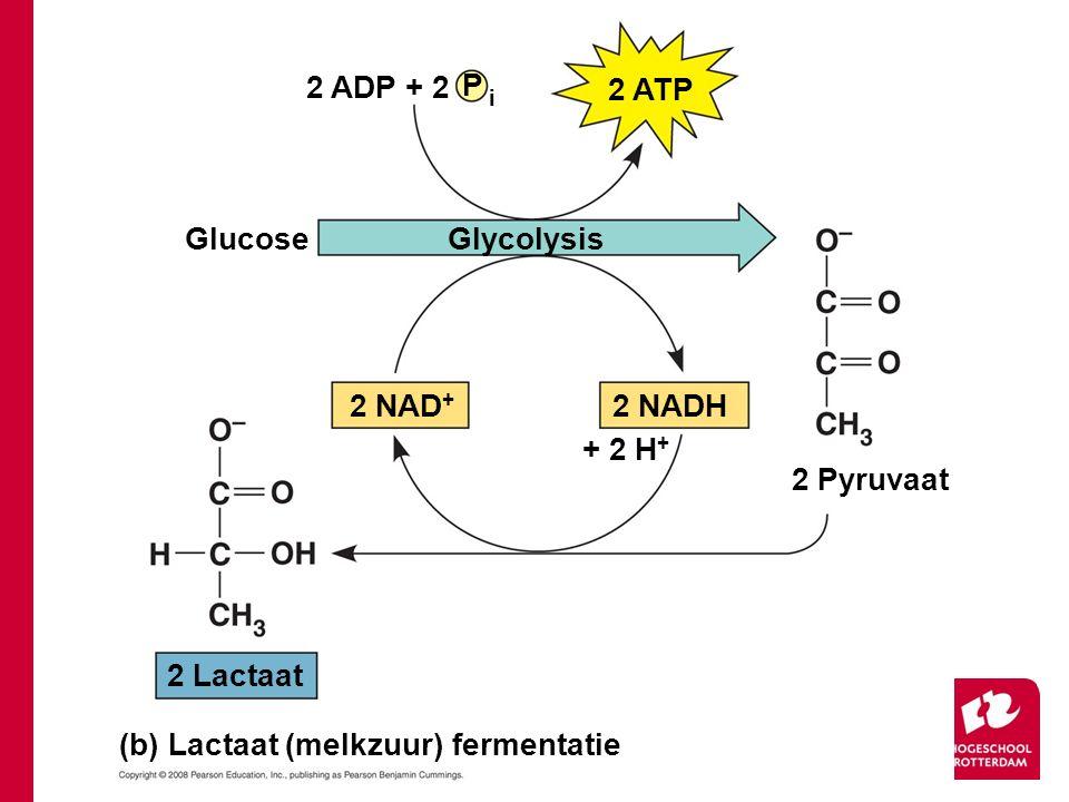 Glucose 2 ADP + 2 P i 2 ATP Glycolysis 2 NAD + 2 NADH + 2 H + 2 Pyruvaat 2 Lactaat (b) Lactaat (melkzuur) fermentatie