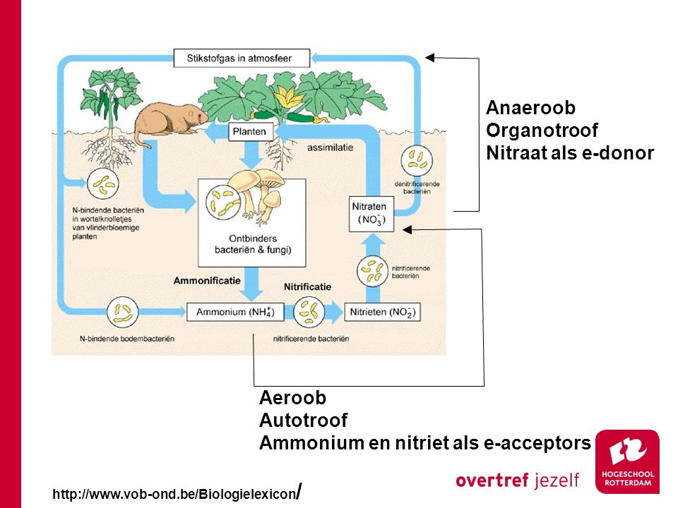 http://www.vob-ond.be/Biologielexicon / Aeroob Autotroof Ammonium en nitriet als e-acceptors Anaeroob Organotroof Nitraat als e-donor