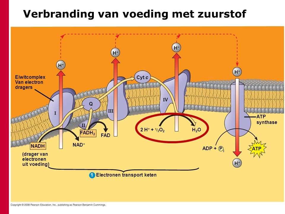 Eiwitcomplex Van electron dragers H+H+ H+H+ H+H+ Cyt c Q    VV FADH 2 FAD NAD + NADH (drager van electronen uit voeding) Electronen transport