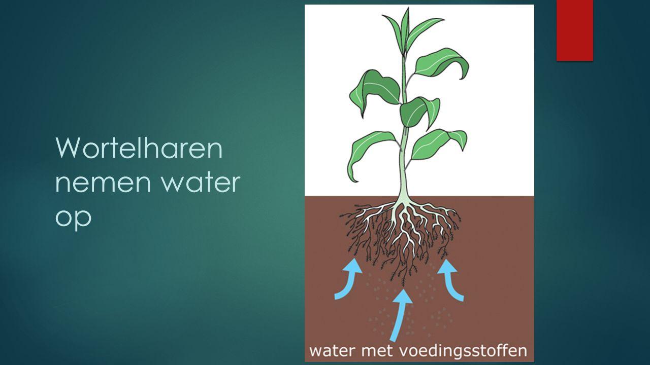 Bladeren geven waterdamp af aan de lucht Aan de onderkant van bladeren zitten kleine openingen: huidmondjes Door de huidmondjes gaan gassen de bladeren in en uit: -Het blad in: Koolstofdioxide -Het blad uit: Zuurstof en Waterdamp
