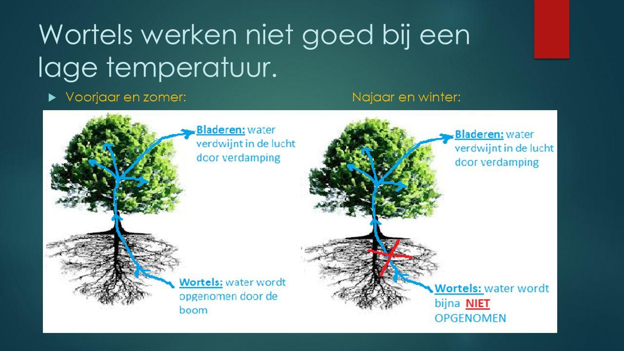 Bij lage temperatuur  Bij de wortels komt er weinig water de plant in.