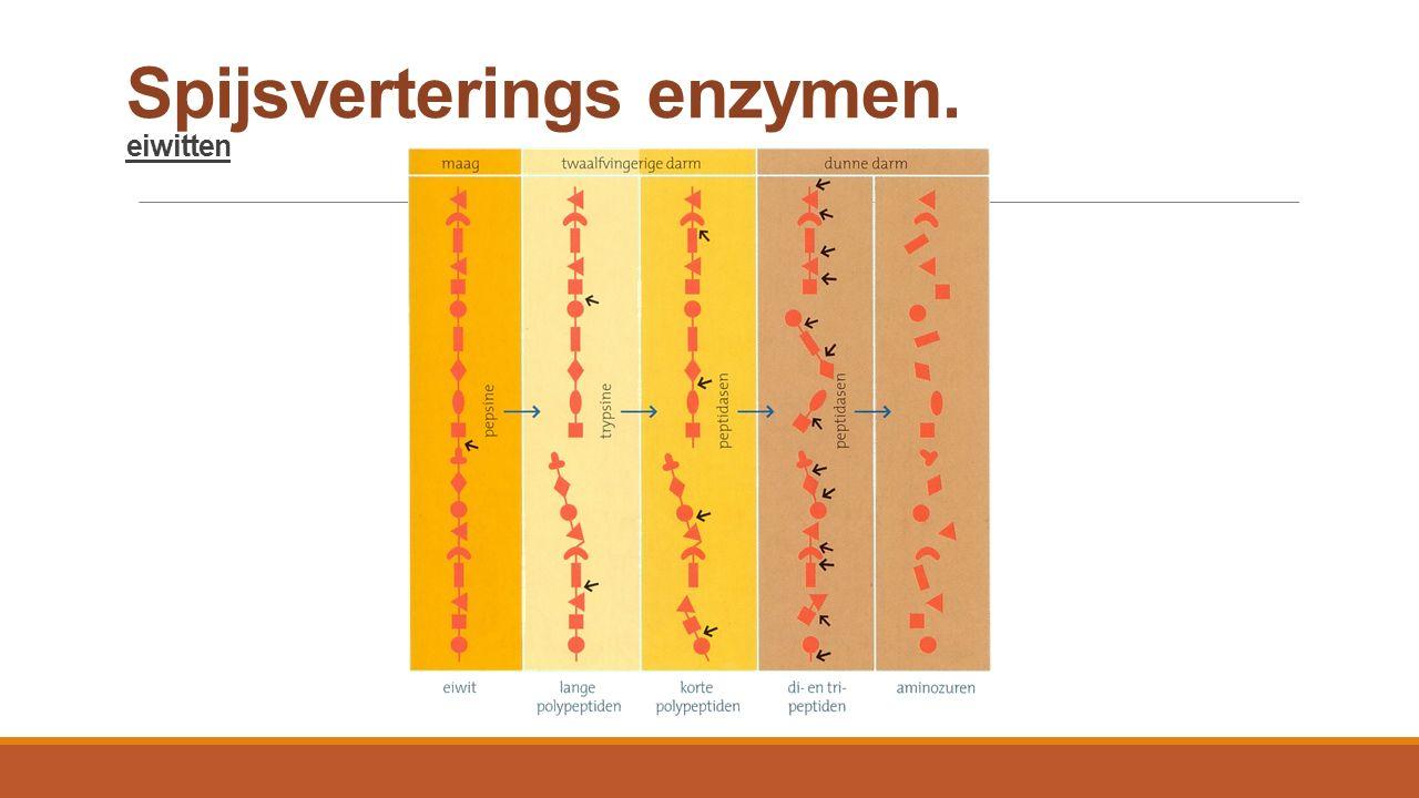 Spijsverterings enzymen. eiwitten