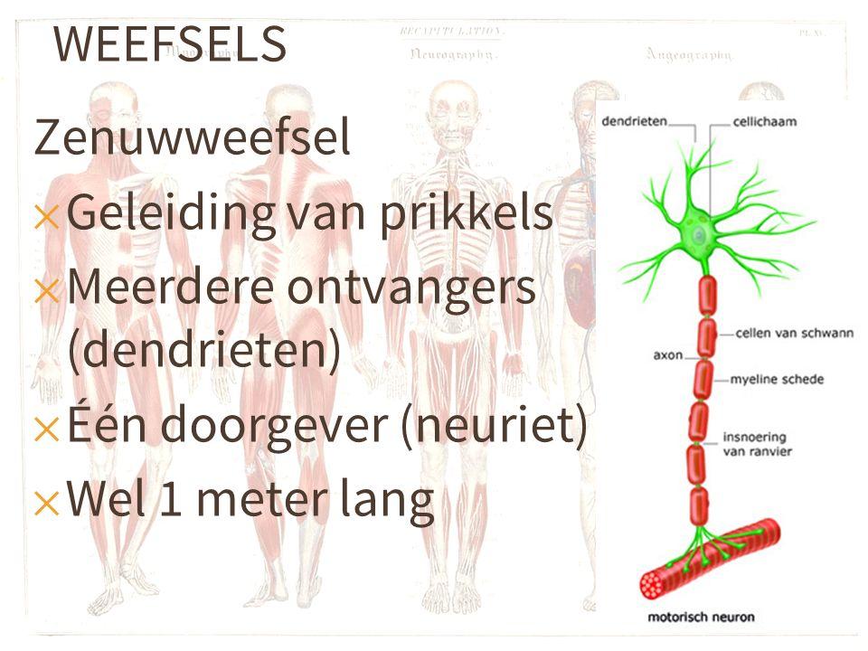 WEEFSELS Zenuwweefsel ✕ Geleiding van prikkels ✕ Meerdere ontvangers (dendrieten) ✕ Één doorgever (neuriet) ✕ Wel 1 meter lang