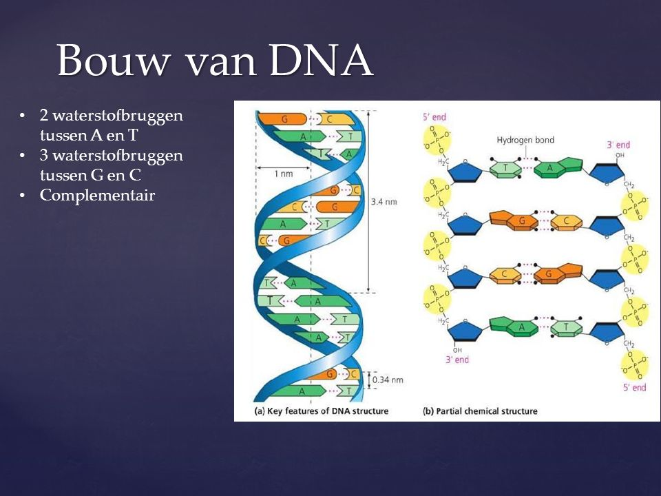 Bouw van DNA 2 waterstofbruggen tussen A en T 3 waterstofbruggen tussen G en C Complementair