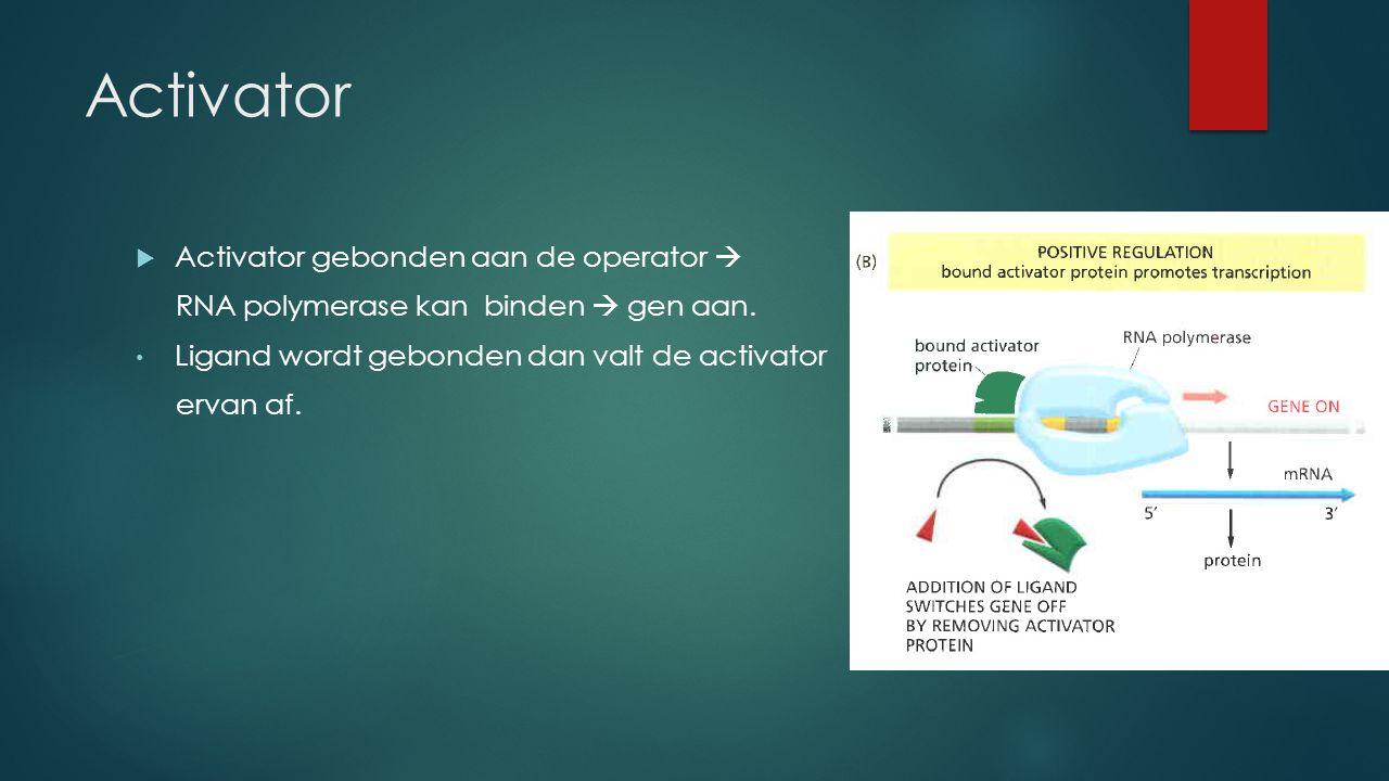 Activator  Activator gebonden aan de operator  RNA polymerase kan binden  gen aan.