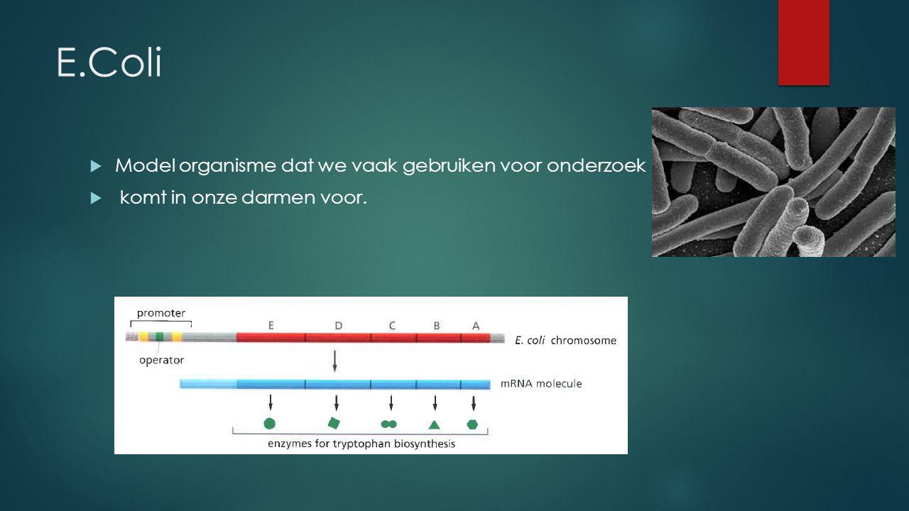 E.Coli  Model organisme dat we vaak gebruiken voor onderzoek  komt in onze darmen voor.