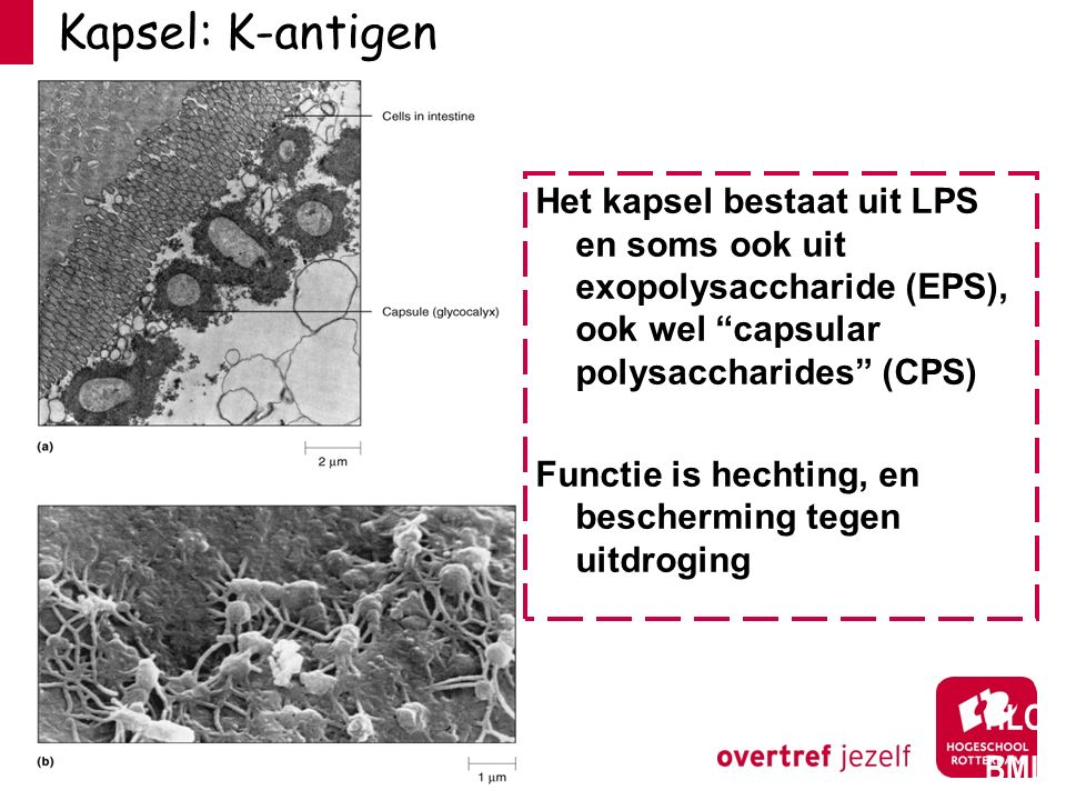 "Kapsel: K-antigen HLO BML Het kapsel bestaat uit LPS en soms ook uit exopolysaccharide (EPS), ook wel ""capsular polysaccharides"" (CPS) Functie is hech"
