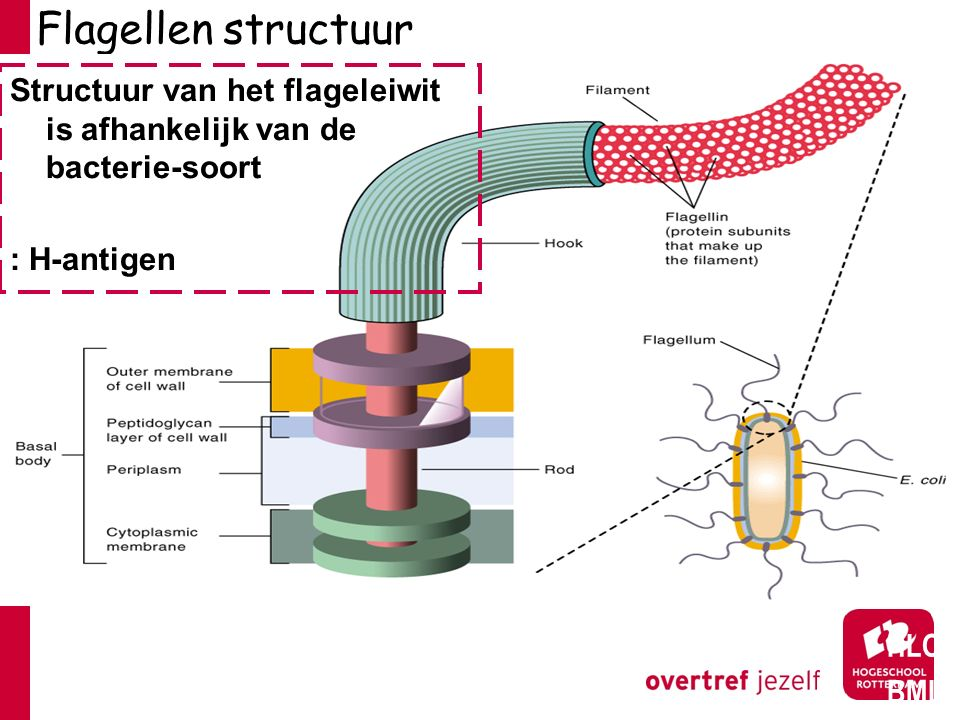 Flagellen structuur HLO BML Structuur van het flageleiwit is afhankelijk van de bacterie-soort : H-antigen