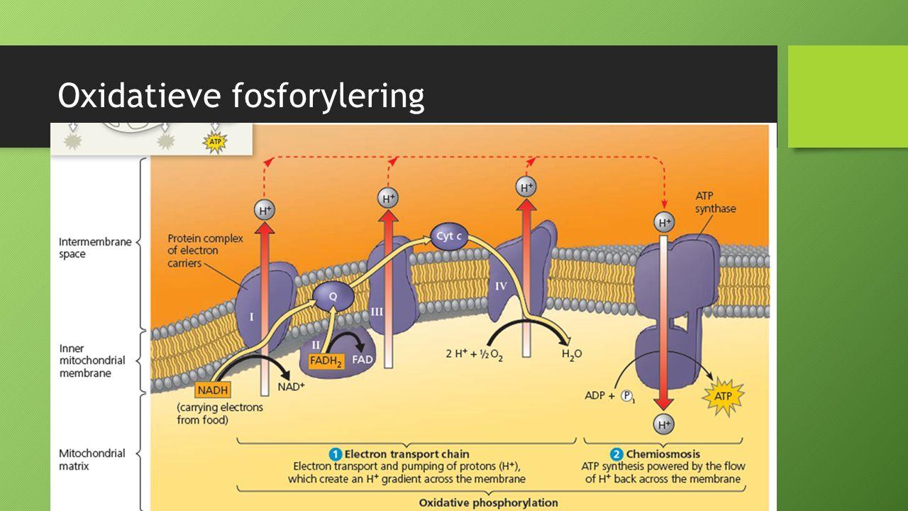 Oxidatieve fosforylering