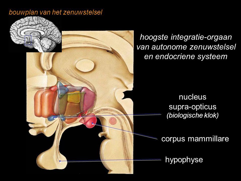 bouwplan van het zenuwstelsel hypothalamus hypophyse nucleus supra-opticus (biologische klok) corpus mammillare hoogste integratie-orgaan van autonome