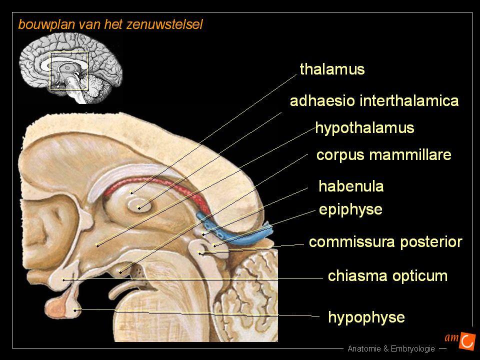 Epithalamus Habenula: schakelsyteem voor olfactorische prikkels Epifyse: kegel vormig lichaampje voor informatie over licht en donker en rijping genitaliën