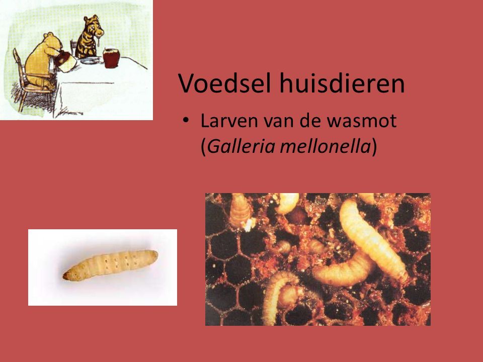 Voedsel huisdieren Larven van de wasmot (Galleria mellonella)