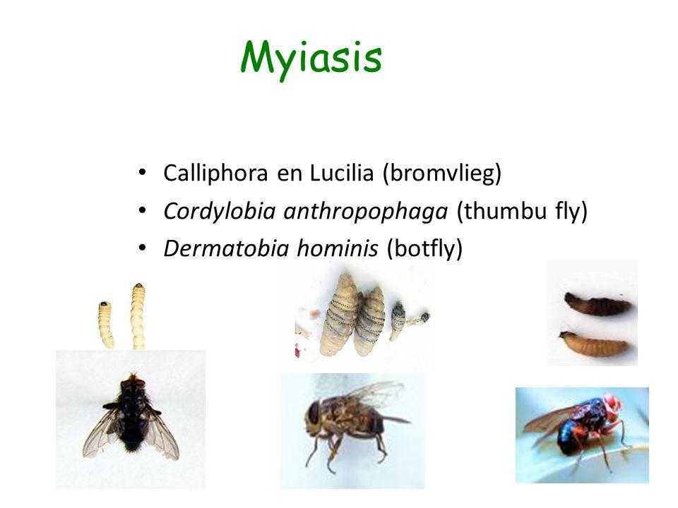 Myiasis Calliphora en Lucilia (bromvlieg) Cordylobia anthropophaga (thumbu fly) Dermatobia hominis (botfly)