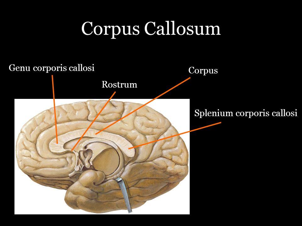 Corpus Callosum Genu corporis callosi Rostrum Corpus Splenium corporis callosi