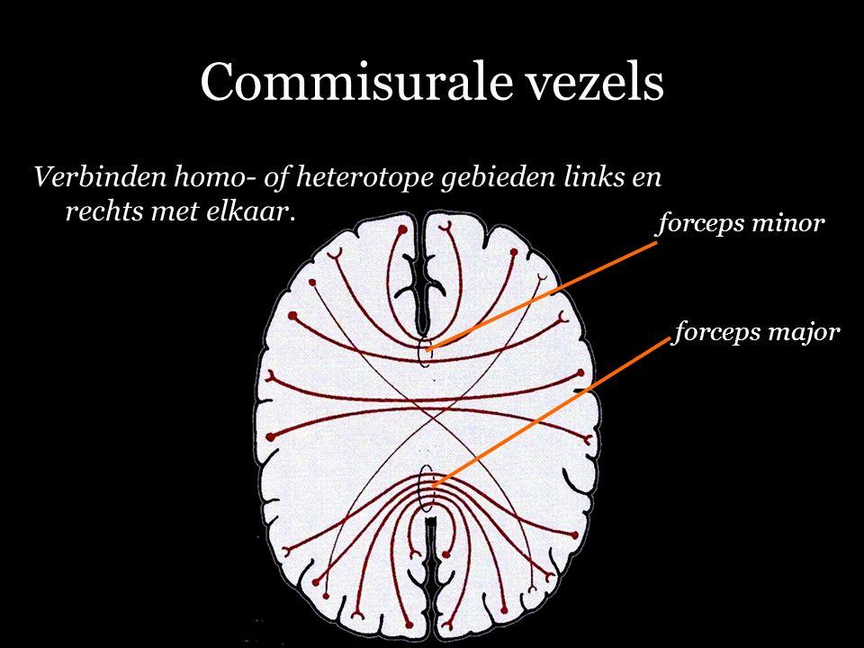 Commisurale vezels Verbinden homo- of heterotope gebieden links en rechts met elkaar.