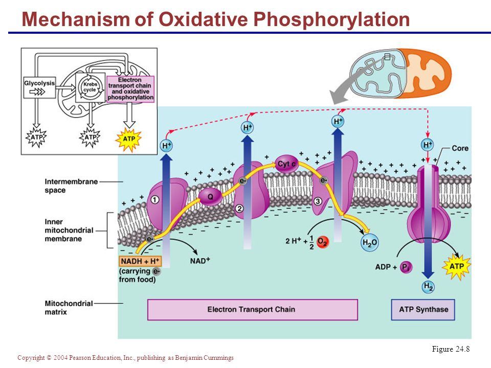 Copyright © 2004 Pearson Education, Inc., publishing as Benjamin Cummings Mechanism of Oxidative Phosphorylation Figure 24.8