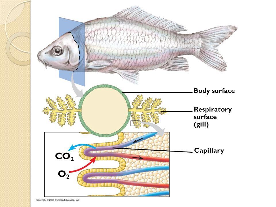 CO 2 O2O2 Capillary Body surface Respiratory surface (gill)
