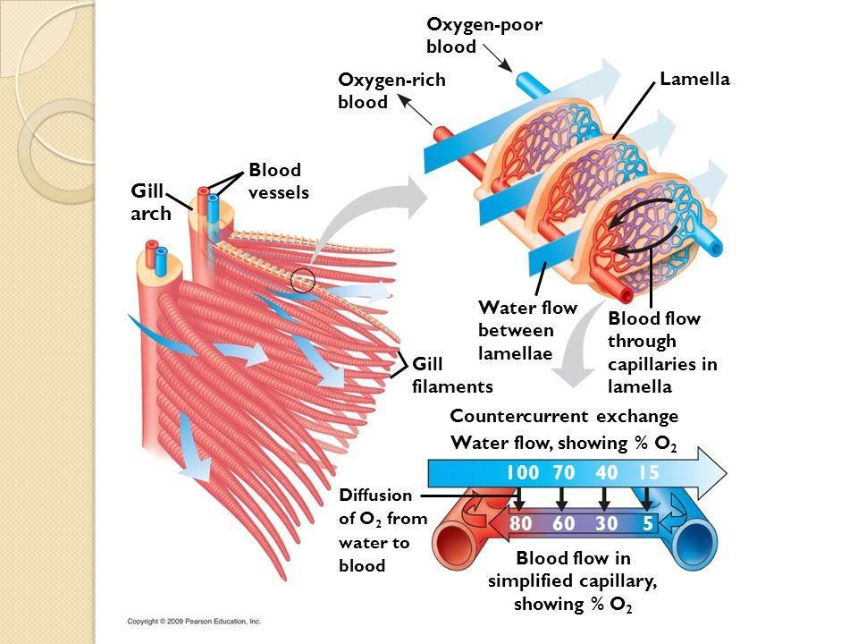 Gill arch Blood vessels Oxygen-rich blood Oxygen-poor blood Lamella Gill filaments Water flow between lamellae Blood flow through capillaries in lamel