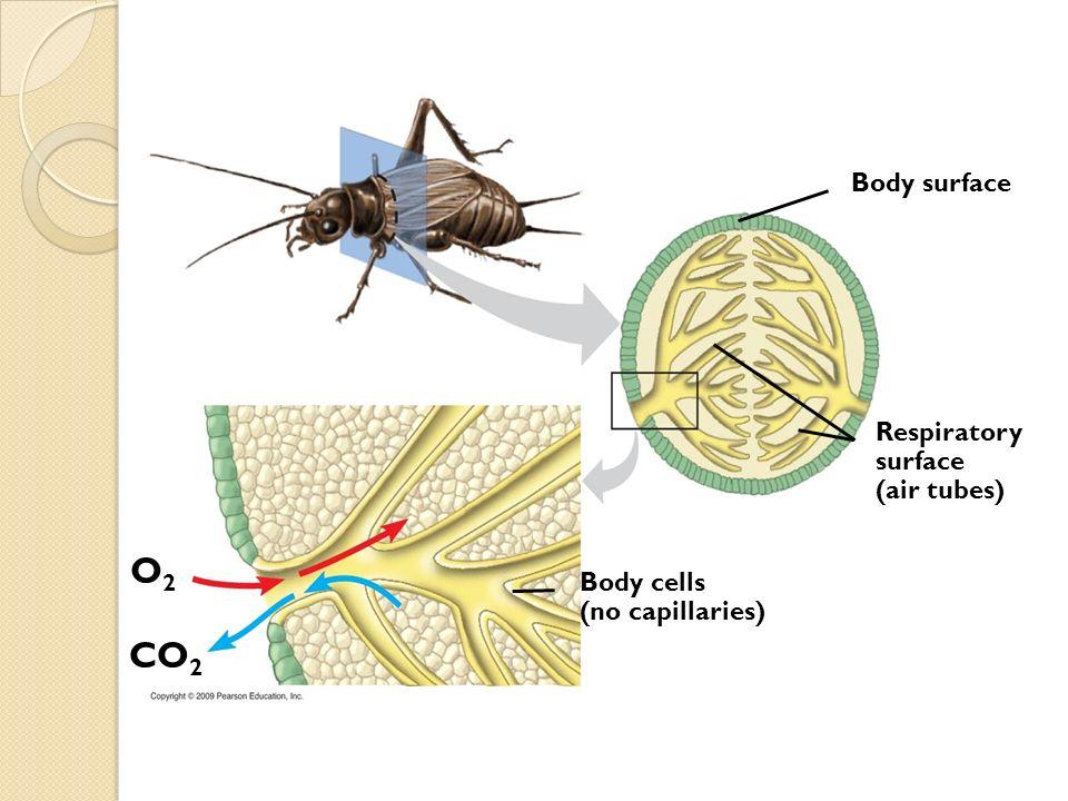 CO 2 O2O2 Body surface Body cells (no capillaries) Respiratory surface (air tubes)